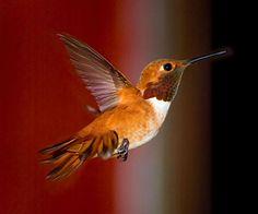High speed photography ~hummingbird frozen in flight~