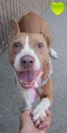 RETURNED 9/1/16 BITEPEOPLE !! SUPER URGENT Manhattan Center SAFE 8/19/16 Brooklyn Center MONETTE – A1084466 FEMALE, TAN / WHITE, BASENJI MIX, 8 mos STRAY – STRAY WAIT, HOLD FOR ID Reason STRAY Intake condition EXAM REQ Intake Date 08/06/2016 http://nycdogs.urgentpodr.org/monette-a1084466/