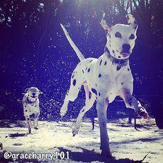 GRACE&HARRY☆ はしゃぐオジさんとオバさん @graceharry101 #dog #dalmatian #dogstagram #dogsofinstagram #petmodel #snow #ダルメシアン #犬 #雪 #ペットモデル