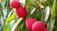 Lychee Health Benefits, Papaya Growing, Agriculture, Container Gardening, Gardening Tips, How To Grow Watermelon, Lychee Fruit, Gardens, Brazil