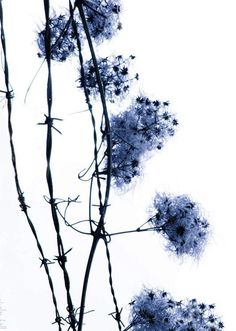 Unbound - 8 x 10 Nature Photography - Winter Flower - Blue and White Dream- Barbed Wire - Limited Ed