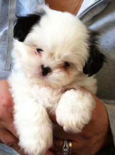 Adorable Shih tzu puppy - 7 weeks old! All white with just the black ears. What a cutie. #shihtzupuppy