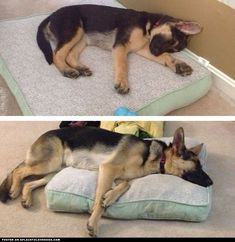 German Shepherd Puppy Too Big For Her Bed ::: Visit our poster store Rover99.com