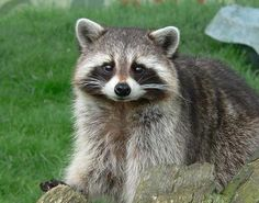 Raccoon The raccoon is a medium sized bear-like mammal that was originally only found in North America. Due to the deliberate introduction of the raccoon into other countries,