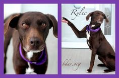 A lady with looks and smarts, Rylee, our Adoptable #Dog of the Week, from Black Dog Animal Rescue is a 1.5-year-old female German Shorthaired Pointer and Terrier mix from Cheyenne, WY.   Who's taking her home in time for the Holidays?