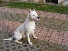 Dogo argentino puppy attack - YouTube