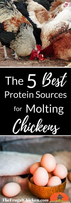 When your backyard chickens start to molt and lose their feathers, they will need extra protein. Here's the best protein sources for molting chickens. Raising Backyard Chickens, Backyard Poultry, Keeping Chickens, Backyard Farming, Chicken Feed, Chicken Runs, Diy Chicken Coop, Chicken Ideas, Chicken Waterer