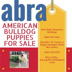 Best Buds American Bulldogs DNA-VIP Litter Bucalla's Sir Tucker x Happy Hooligan Stella McCartney DOB 1/26/2017 Mary Grillo - mary.grillo.2012@gmail.com ABRA Registered American Bulldog Puppies For Sale