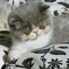 Exotic shorthair kitten Promise at MewzNewz.com