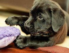 Peri the Labrador Retriever
