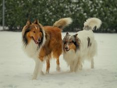 Rough Collies on a stroll Mini Collie, Collie Dog, Smooth Collie, Rough Collie, Beautiful Dogs, Animals Beautiful, All Dogs, Best Dogs, Adorable Animals
