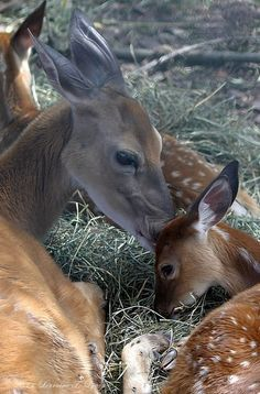 Bambi and his Mother We ALL know what happens to her, right? Animals And Pets, Baby Animals, Cute Animals, Bambi, Beautiful Creatures, Animals Beautiful, Photo Animaliere, Deer Family, Mundo Animal