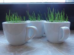 für ein bisschen grün in der Wohnung - gras in espressotässchen