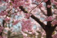 Cherry blossom at Bispebjerg Kirkegård, Copenhagen spring by blogliebling.dk