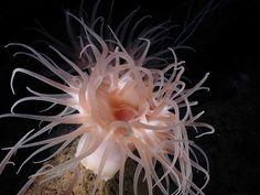 Anémone de mer dans le golfe du MexiqueCousine des coraux et des méduses, les anémones de mer appartiennent à l'ordre des cnidaires. Fascinantes petites créatures, elles possèdent des caractéristiques génétiques à la fois animales et végétales. La grande majorité des espèces d'anémones de mer vivent dans les eaux chaudes des récifs coralliens tropicaux. Leurs tentacules sont urticants