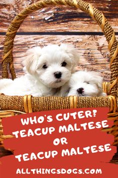 f1fda5e0373 The teacup Maltese is unarguably one of the cutest teacup dogs you'll ever  come across. So what are these dogs and what differentiates them from the  other ...