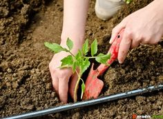 Cum împiedicăm viespile să vandalizeze via și livada Paradis, Salvia, Asparagus, Vegetables, Mai, Terrariums, Green, Plant, Studs