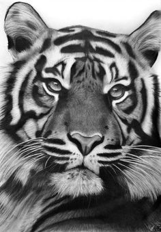 This is a drawing of my first tiger which is, what I think, one of the most beautiful animals in the world. Like the cat-drawings I made earlier, I'm coloring the eyes in this drawing but keep the .