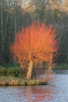 Knotwilg met geel-oranje takken in de winter