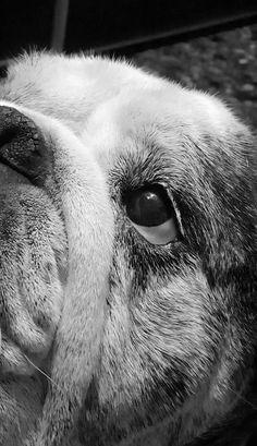 Bulldog Puppies, Cute Puppies, Cute Dogs, Bulldog Pics, Baby Animals, Cute Animals, Baby Bulldogs, British Bulldog, Mo S