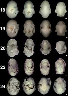 Bat Embryo Developing from 18 weeks to 24--creepy print out for halloween