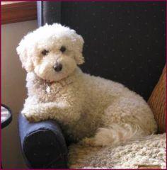 Bichon Poodle Puppies for Sale|Poochon|Dog Breeders|Iowa Mini Puppies, Poodle Puppies For Sale, Dogs And Puppies, Doggies, Poochon Puppies, Puppys, Bichon Poodle Mix, Moyen Poodle, Dog Breeders