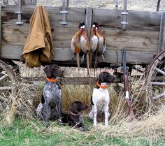 german shorthaired pointers hunting