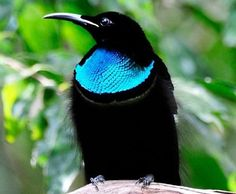 The magnificent riflebird is a beautiful bird that is covered in raven-black feathers, but has a secret patch of blue along his neck that changes in appearance as he moves. See my youtube section