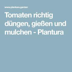 Tomaten richtig düngen, gießen und mulchen - Plantura