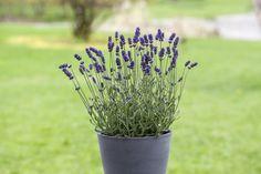 Lavendel Hidcote er en flerårig staude og har en fantastisk duft.