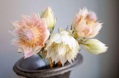 Blushing bride serruria flower