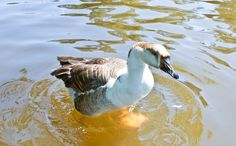 Duck paddling in Ward's Lake @ Shillong.