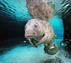 Manatee, Florida. I have been swimming with the Manatee's on the Crystal River in Florida, amazing!!