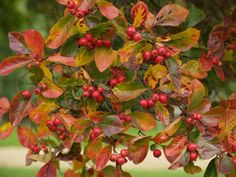 Red berries and browning leaves remind me of autumn in England. Planting Plan, Clay Soil, Deciduous Trees, Seed Pods, Private Garden, Garden Trees, Red Berries, Colour Schemes, Botanical Gardens