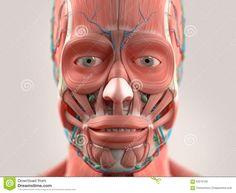 관련 이미지 Head Anatomy, Anatomy Study, Muscular System, Muscle Anatomy, Lips, Character, Image, Art, Google