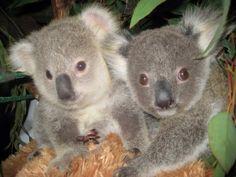 Koala bear twins