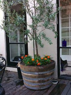 olive tree in half wine barrel #CourtYard #Landscape #Outdoor  ༺༺  ❤ ℭƘ ༻༻  IrvineHomeBlog.com
