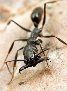 trap jaw ant..the peak force exerted in its bite is  300 times the body weight of the ant..ouch