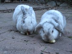 Bunnies happily tuck into some apples - May 27, 2015 - More at today's Daily Bunny post: http://dailybunny.org/2015/05/27/bunnies-happily-tuck-into-some-apples/ !