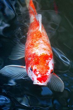 Anyone who has ever walked into a friend's yard and seen a well-stocked Koi pond for the first time is immediately captivated by the beauty, variety and serenity of the Koi fish. After a few minutes of enjoying the Koi, most people wonder aloud or to themselves if they could also keep Koi as pets. Happily, the answer is yes.