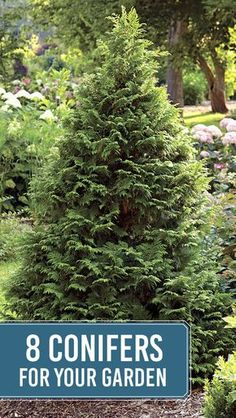 Gardening Tips Curious about conifers? Check out 8 we recommend for the garden Evergreen Landscape, Evergreen Garden, Garden Trees, Garden Bed, Evergreen Trees Landscaping, Evergreen Shrubs, Garden Care, Privacy Landscaping, Front Yard Landscaping