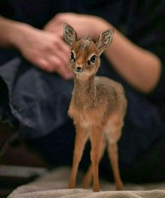 This my friends is called a Dik-Dik, yes pronounce like dick dick, and it is the cutest fucking thing ever good day