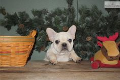 You'll love this Male French Bulldog puppy looking for a new home.