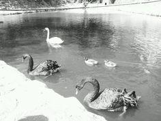 Black swans- houseatheart.blogspot.ro Black Swan, Swans, My Arts, Bird, Painting, Animals, Animales, Animaux, Birds