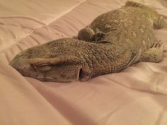 The Blog of Odin The Savannah Monitor!!!