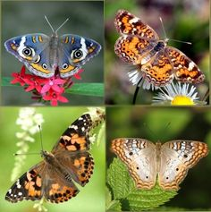 Kit to raise four species of butterflies at once!