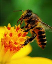 Apiterapie: Včely léčí nás