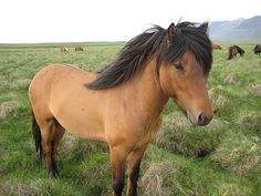 The icelandic horse | Flickr - Photo Sharing!