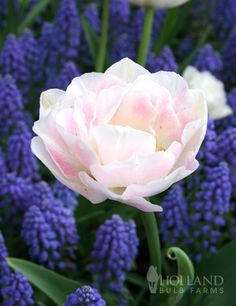 Sweet as Angels Duo Collection with 30 bulbs $13.56 (late spring) container