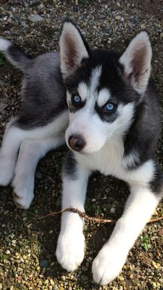 Have you ever seen a HUSKITA? The new favorite Husky Mix Have you ever seen a HUSKITA? The new favorite Husky Mix Life with a Siberian husky Cute Husky Puppies, Husky Puppy, Husky Mix, Baby Huskys, Siberian Husky Dog, Cute Dog Pictures, Dog Runs, Baby Dogs, Doggies